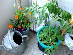 Susanne und Tomate