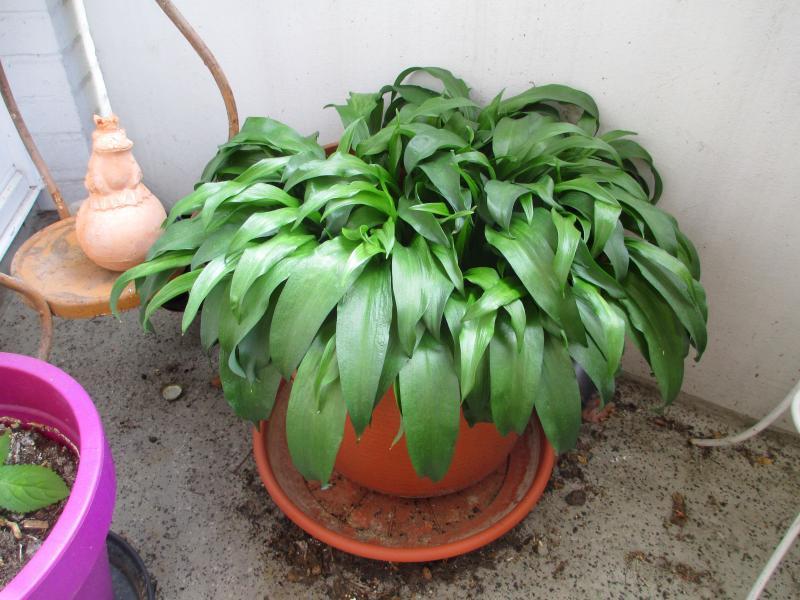 bärlauch pflanzen balkon